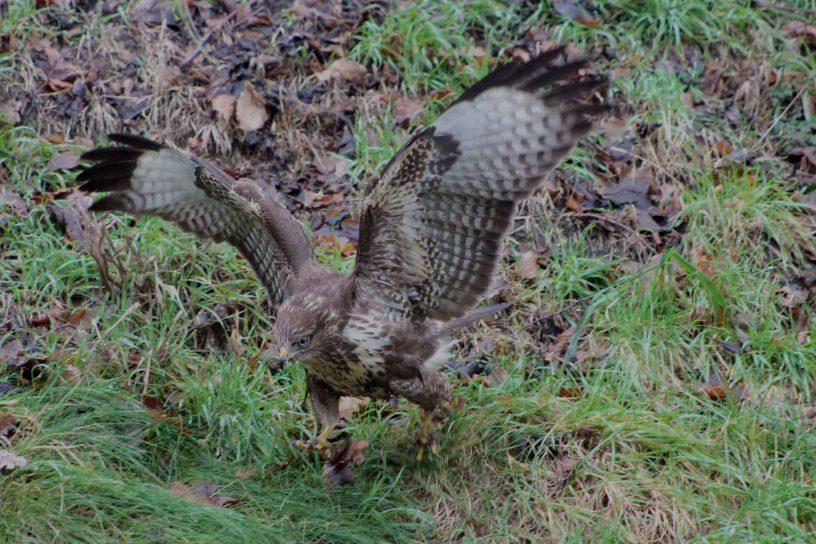 faucon-chasse-au-vol