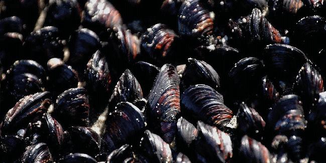moules-mytiliculture-aquavitex