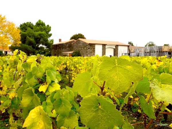 vignoble-loire-domaine-viticole-plessis-glain